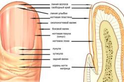 Схема строения ногтя