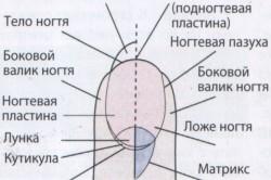 Анатомическое строение ногтя