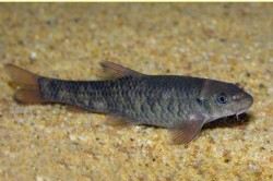 Рыбка Гарра Руфа для педикюра