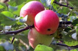 Немытые фрукты - причина диареи
