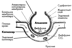 Схема транспорта кислорода кровью