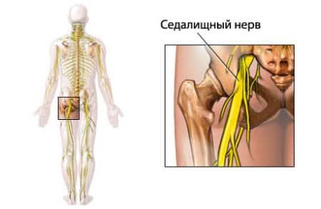 анатомия седалищного нерва