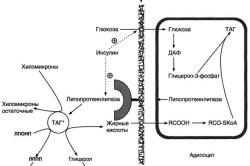 Депонирование жира в адипоцитах в абсорбтивном периоде