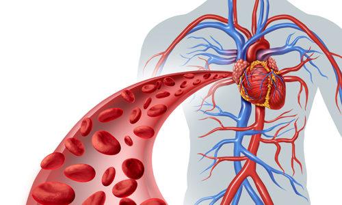 Циркуляция крови по организму
