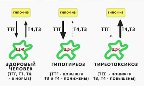 Гормон Т3 (трийодтиронин) - это конечный гормон, который образуется в результате распада гормона Т4 (тироксина) в процессе отщепления от него 1 атома йода