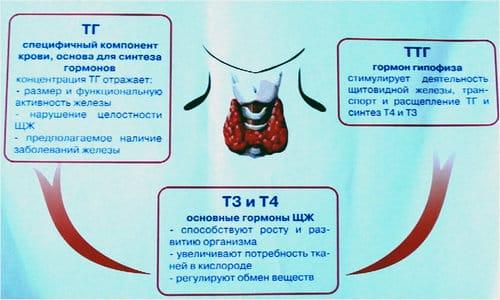Данный гормон во многом определяет правильное функционирование организма