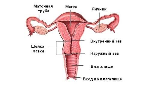 Анатомия женских внутренних половых органов