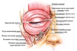 Мимические мышцы вокруг глаз