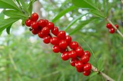 Волчья ягода для избавления от запоров